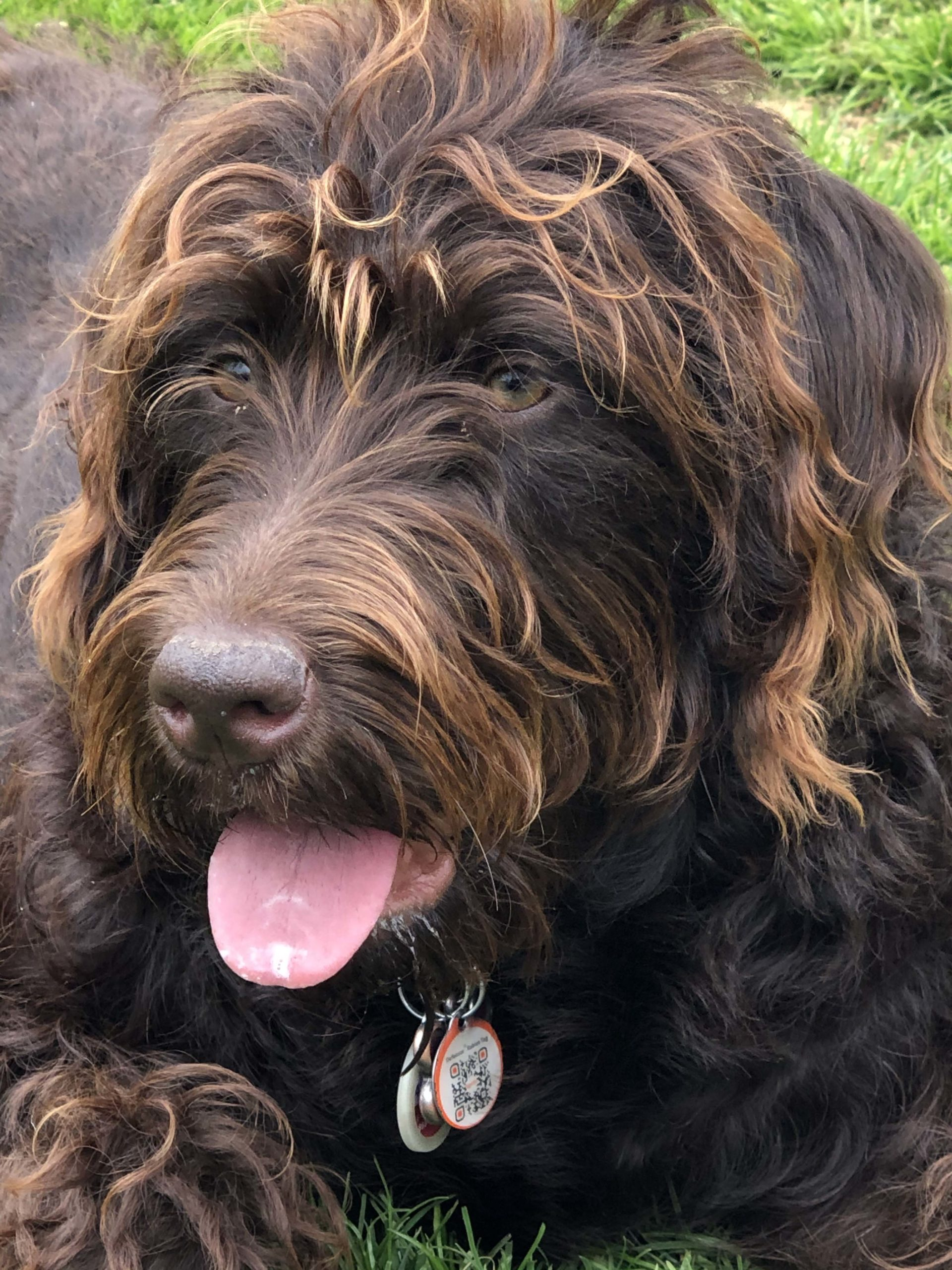 Family favourite, Coco the ten-month-old Labradoodle.